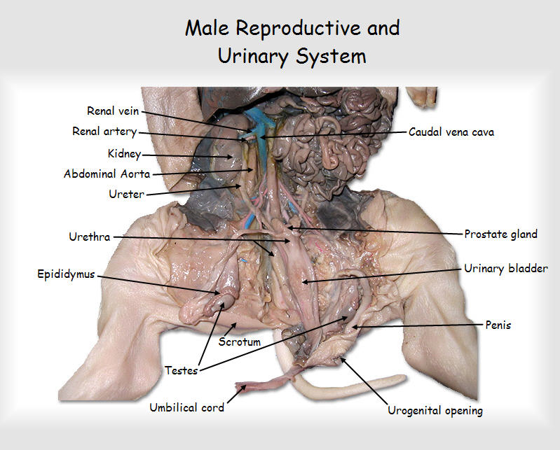 Imagequiz Fetal Pig Urinaryreproductive System Male