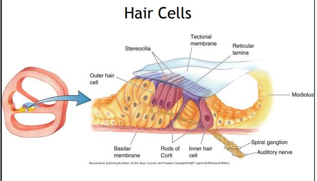 Imagequiz Microanatomy Of Ear