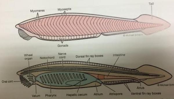 ImageQuiz: BIOL212 Lancelet Internal Anatomy