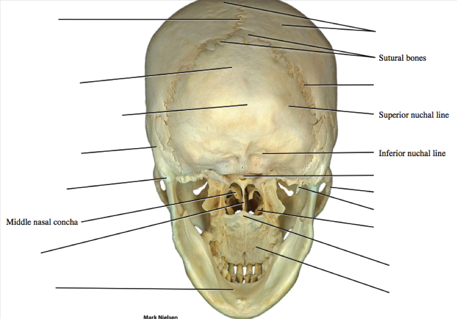 Imagequiz posterior skull ccuart Image collections