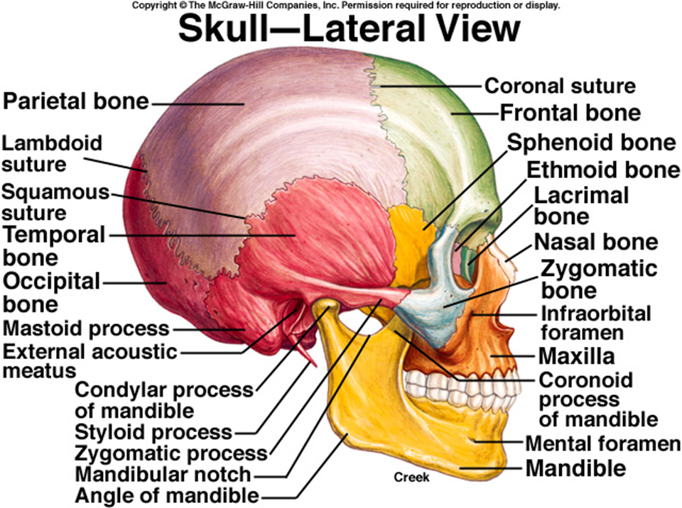 ImageQuiz: Skull - Lateral View