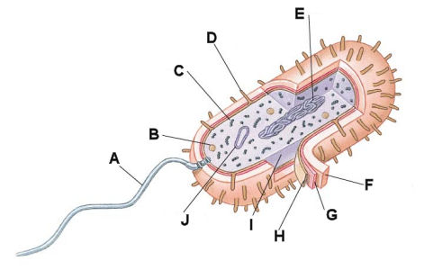 Cell diagram quiz gallery diagram and writign diagram imagequiz nicholas prokaryotic cell nfrrun gallery ccuart Choice Image