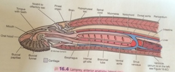 Lamprey internal anatomy