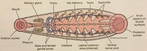 ImageQuiz: BIOL212 Leech Internal Anatomy
