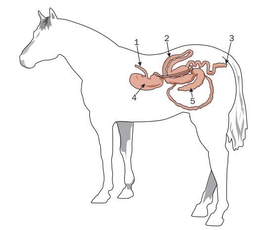 ImageQuiz: Equine Digestive System