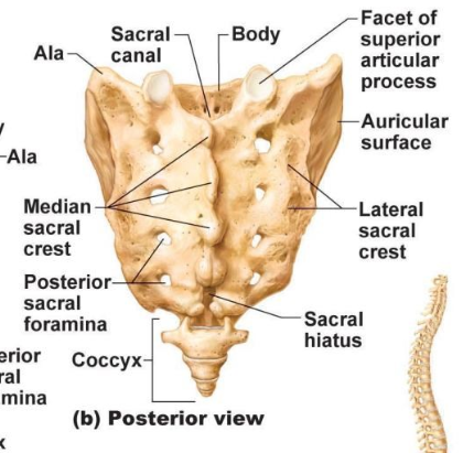 ImageQuiz: Posterior view of the sacrum and coccyx