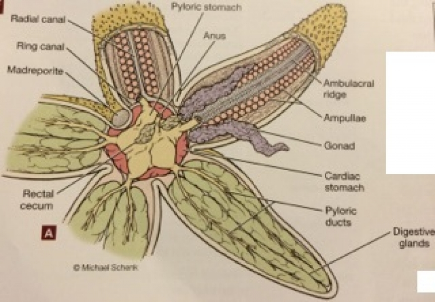 Imagequiz Biol212 Sea Star Internal Anatomy
