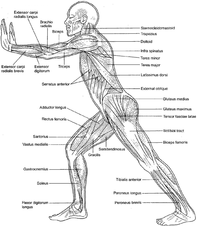 ImageQuiz: muscles