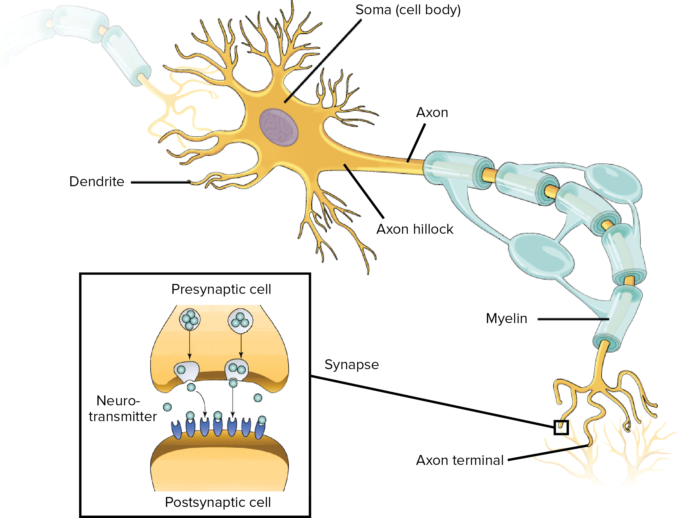 composition of myelin sheet The importance of maintaining the myelin sheath acetylcholine is the building block of myelin, which acts to insulate the axon and neuron, thus providing moisture and lubricants to the nervous system.
