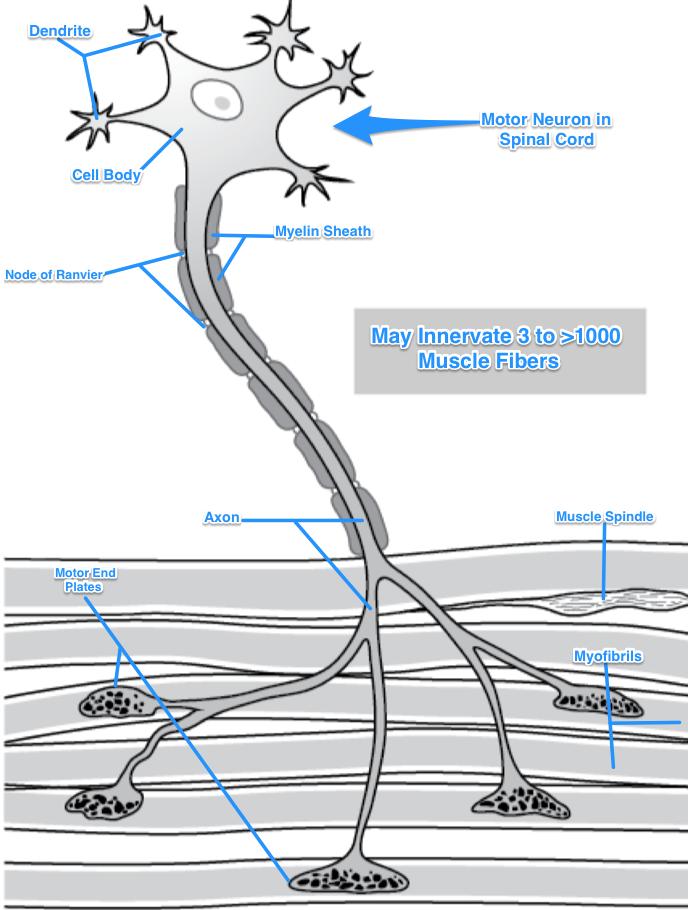 ImageQuiz: Lab 6: Motor Neuron Anatomy