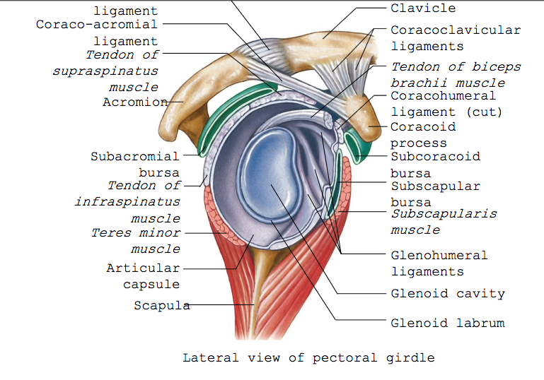 ImageQuiz: The shoulder joint (pectoral girdle)