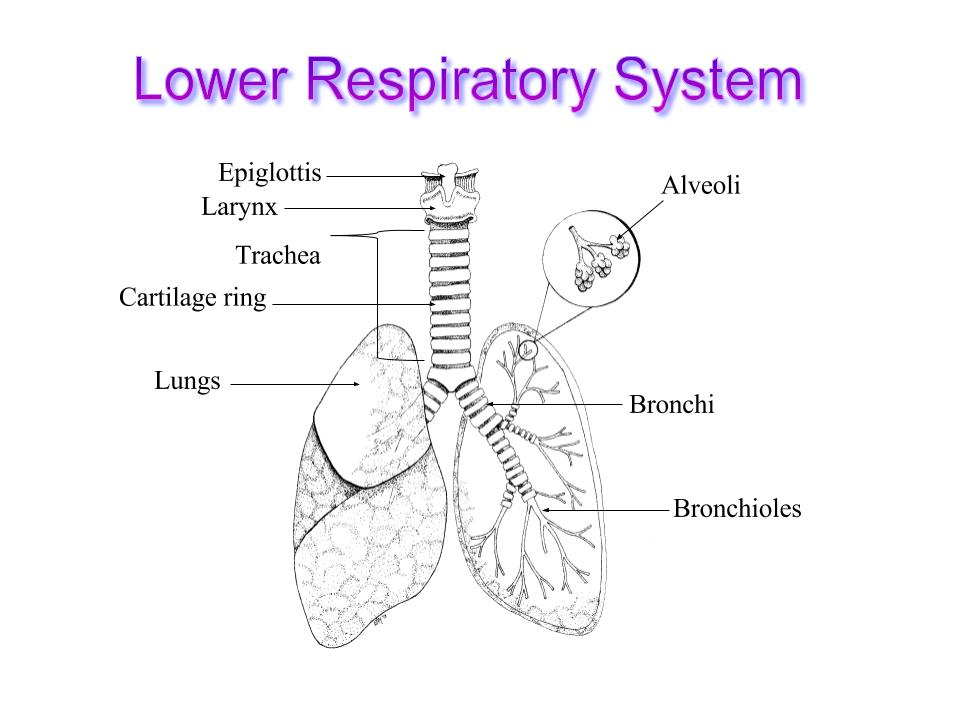 Imagequiz lower respiratory system your browser dosent support the html5 canvas please upgrade your browser check here for a comparison of browsers ccuart Gallery