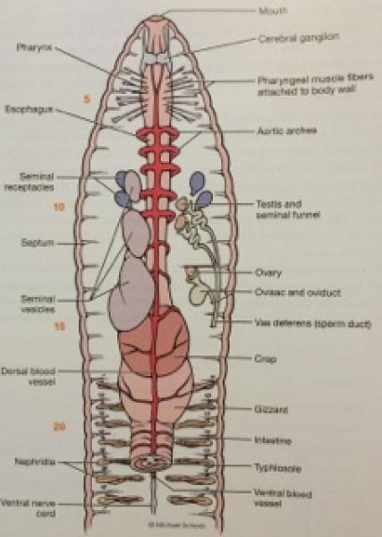 ImageQuiz: BIOL212 Earthworm Internal Anatomy