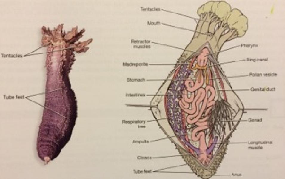 Imagequiz Biol212 Sea Cucumber Anatomy