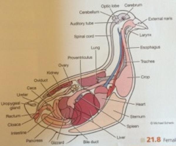 ImageQuiz: BIOL212 Pigeon Internal Anatomy