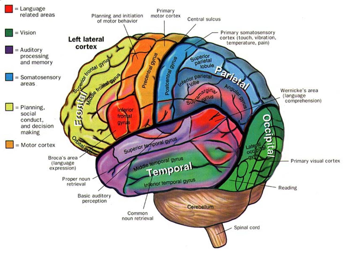 Imagequiz Brain Anatomy For Cmu 85 429 Pt 3