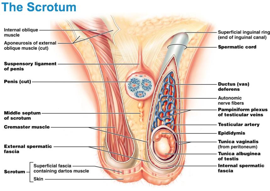 Imagequiz Scrotum Anatomy