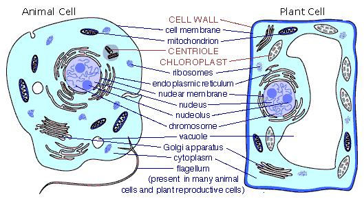 Imagequiz Identifying Common Parts Of Animal Cells And Plant Cells