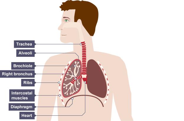 Imagequiz Respiratory System Diagram Labelling Quiz