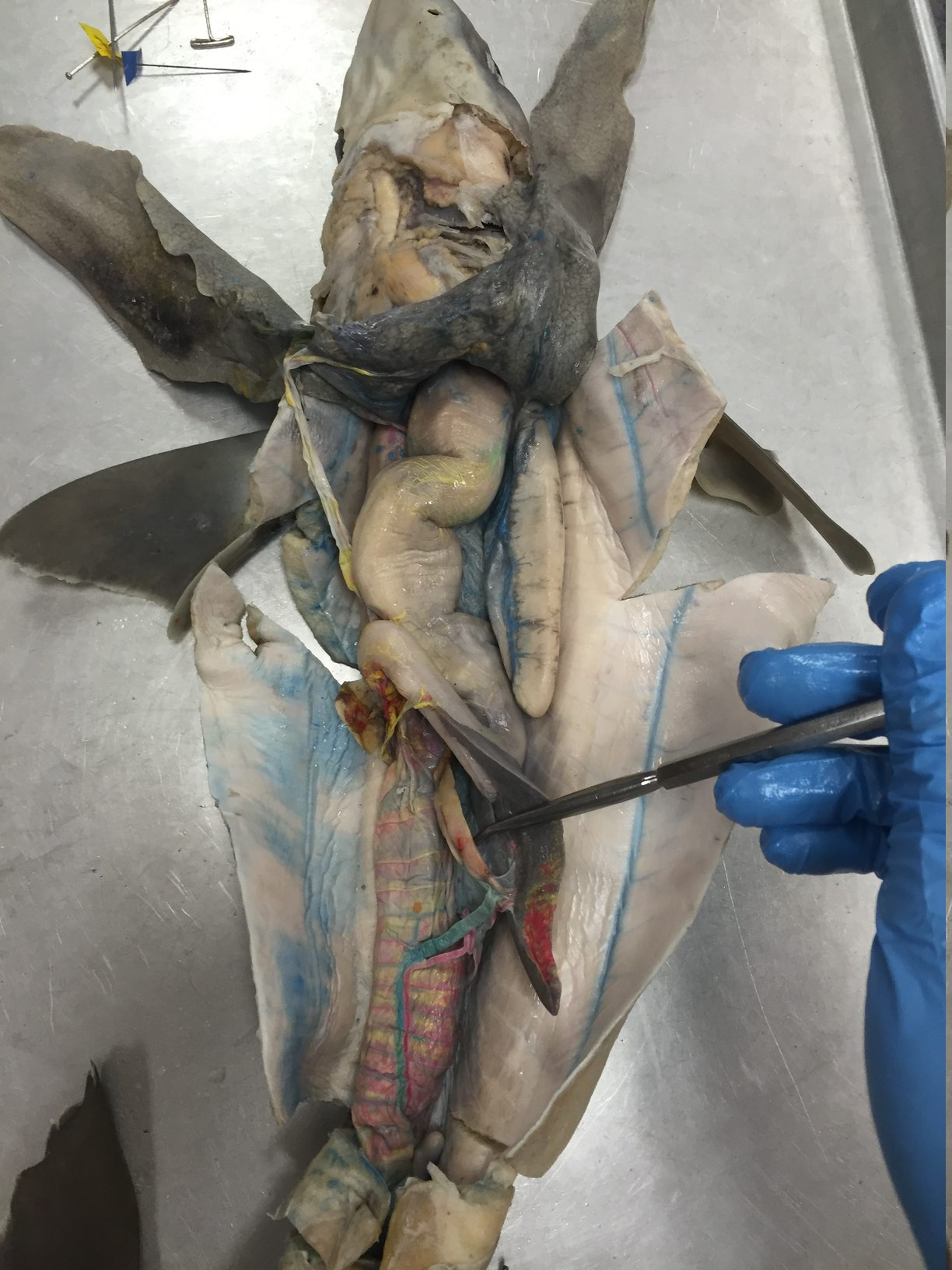 ImageQuiz: Dogfish Shark Internal Organs Q1