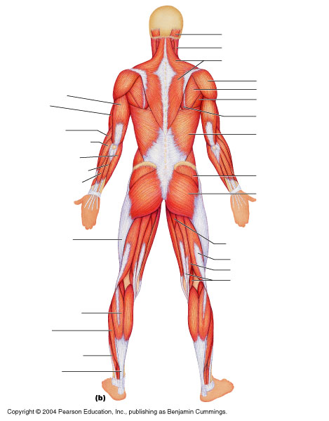 imagequiz: muscles of the body, Muscles