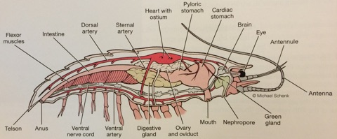 Internal anatomy of the crayfish