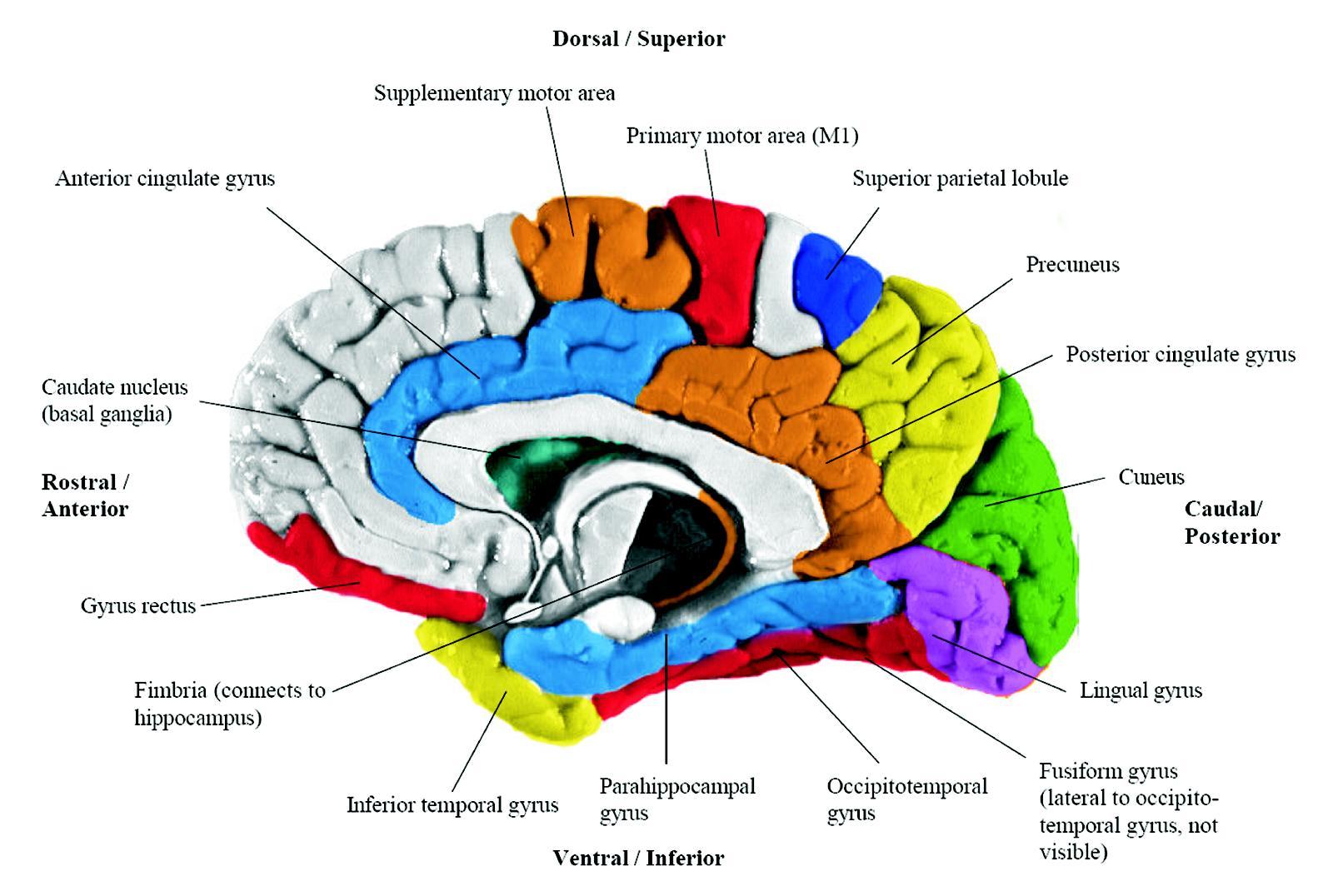 ImageQuiz: Brain Anatomy for CMU 85-429 (Pt. 1)
