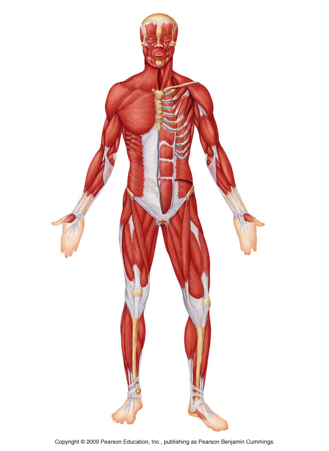 Charmant Label Muscular System Fotos - Anatomie Ideen - finotti.info