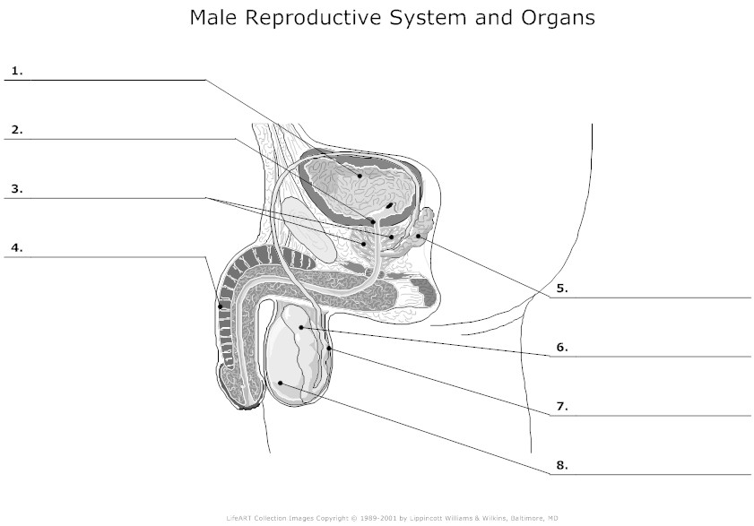 Imagequiz male reproductive system ccuart Gallery