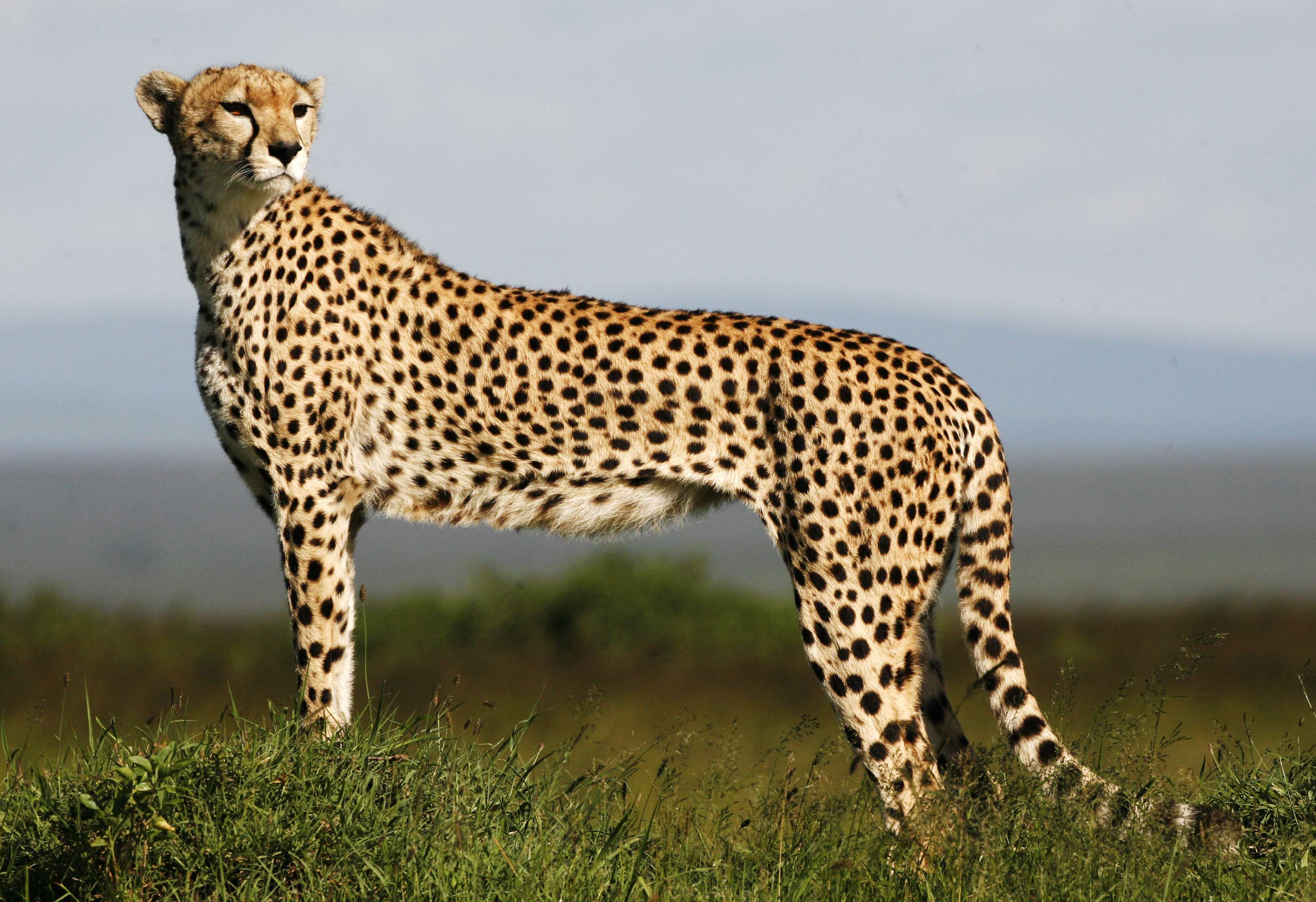 an analysis of the many endangered species in the world and the cheetah as one of them Studies of cheetah chromosomes have shown a surprising lack of genetic diversity from one individual to the next, and as a result the cheetah has been widely portrayed as sitting under an.