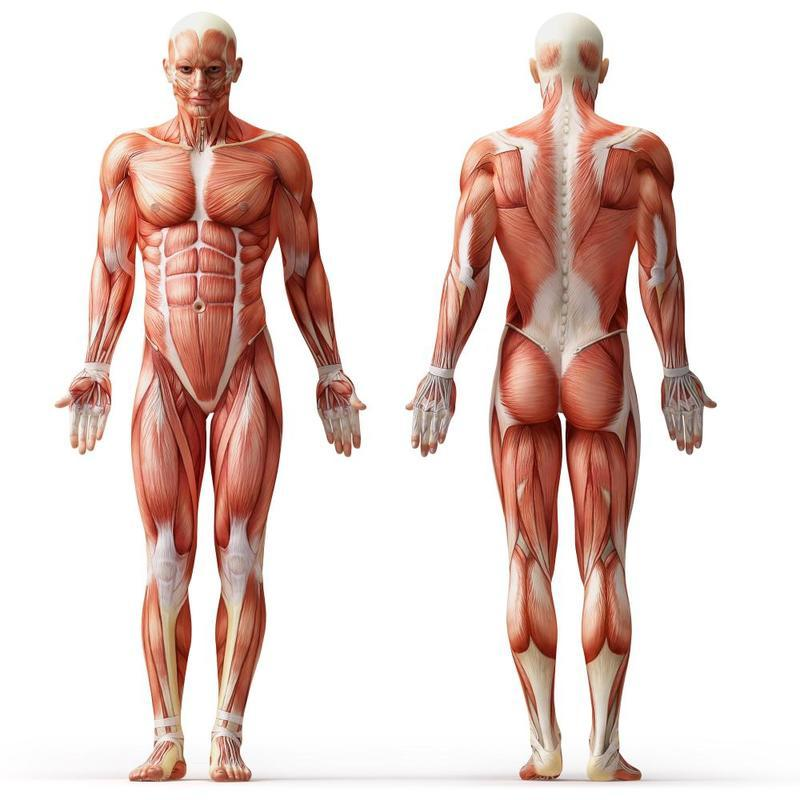 muscle in body In fact, muscle mass varies greatly from person to person, based largely on physical activity instead of focusing on muscle itself, most medical professionals defer to body fat to determine if your muscle mass is at an ideal percentage for your height.