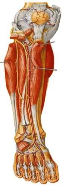 lateral compartment of leg - photo #43