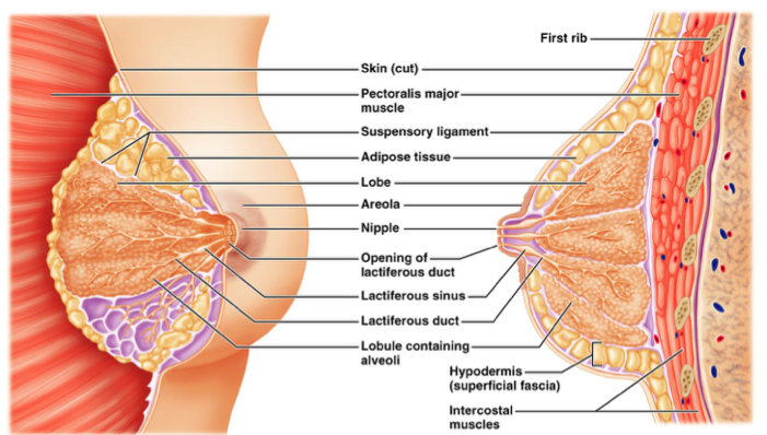 Imagequiz Breast Anatomy
