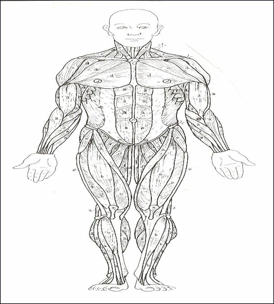 ImageQuiz: Muscular System