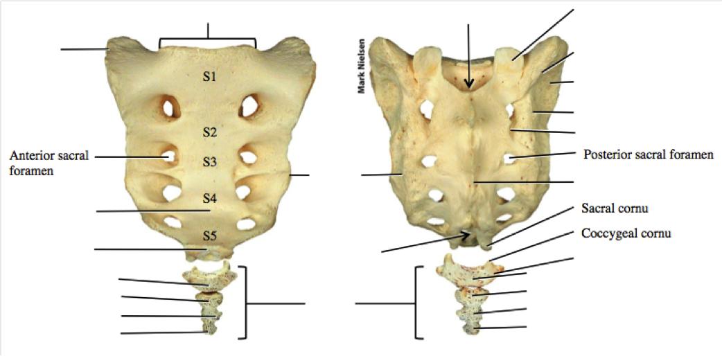 Imagequiz Sacrumcoccyx