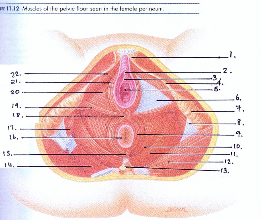 Imagequiz Muscles Of Pelvic Floor
