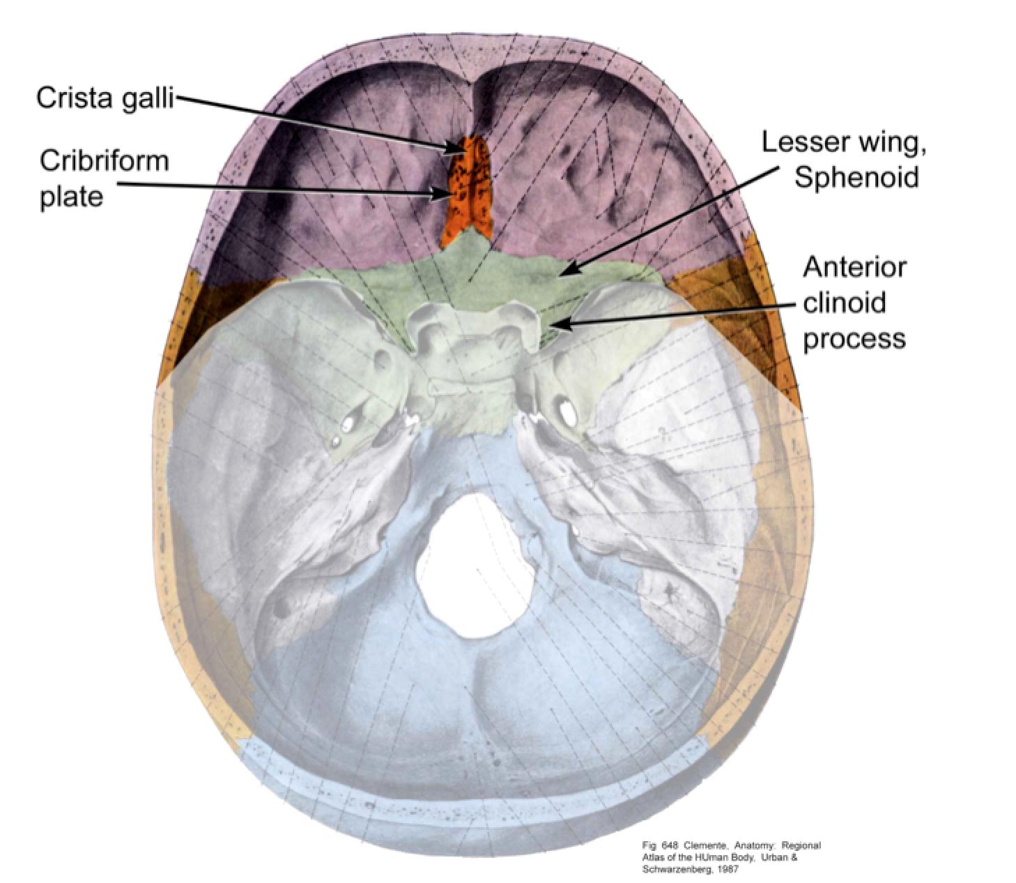 ImageQuiz: Anterior cranial fossa