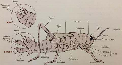 ImageQuiz: BIOL212 Grasshopper External Anatomy