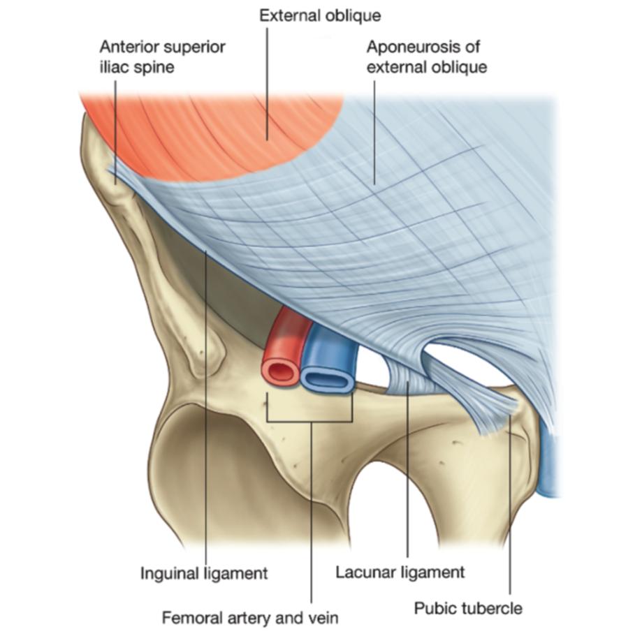 ImageQuiz: Inguinal region anatomy