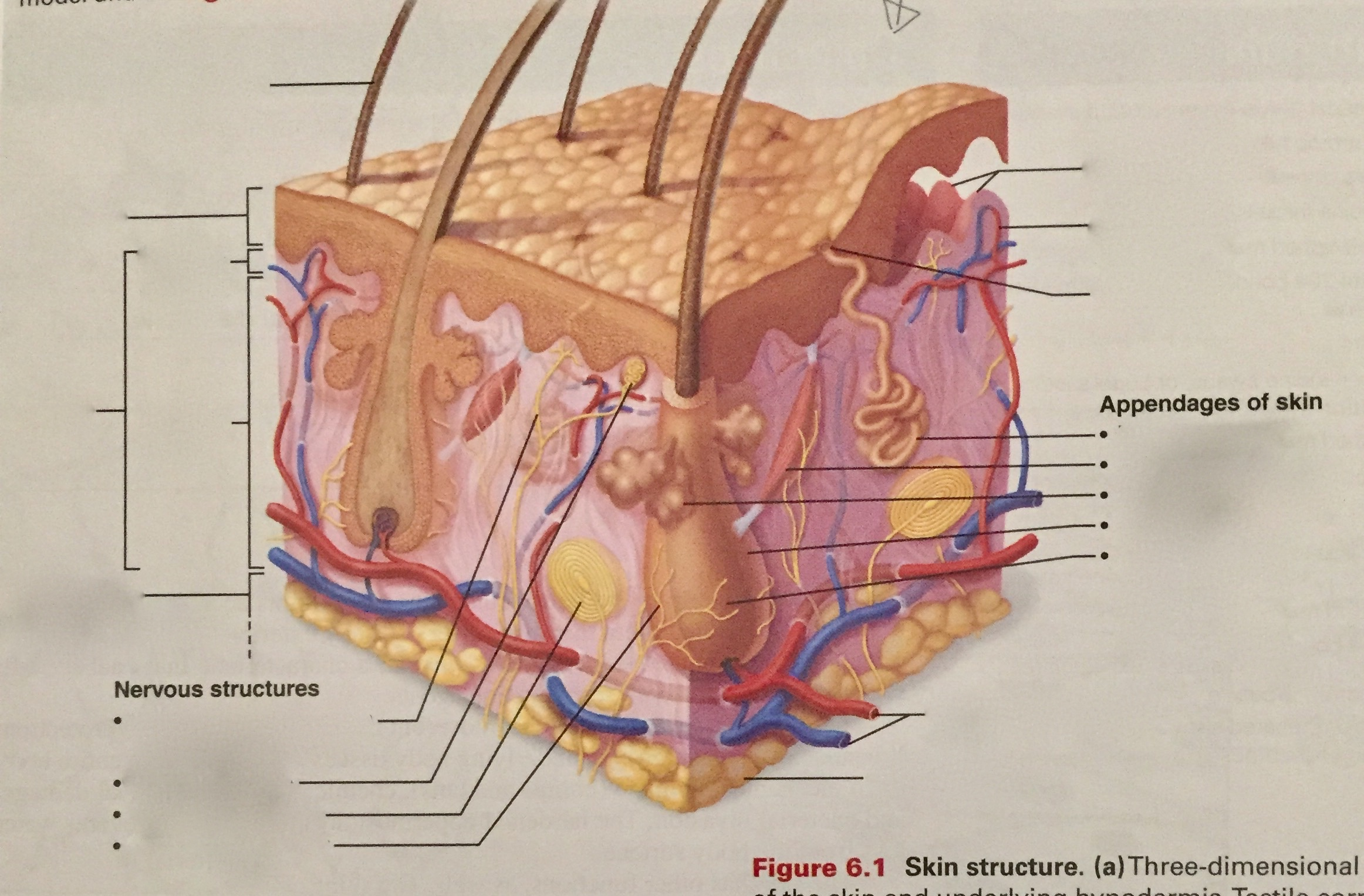 Skin Anatomy Labeling Quiz Urinary System Facts Functions Diseases
