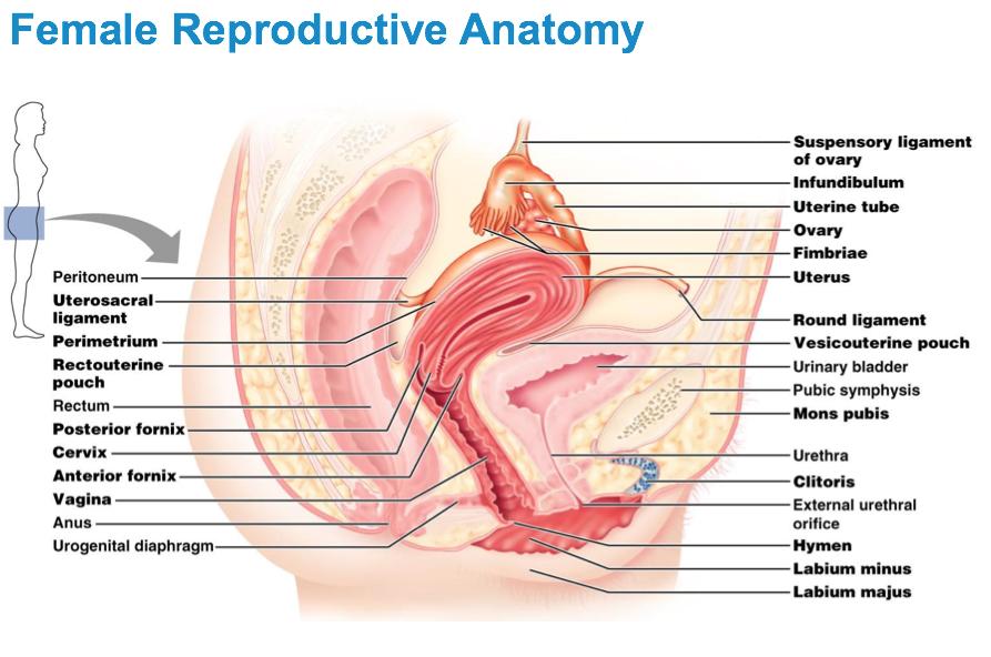 ImageQuiz: Female Reproductive Anatomy