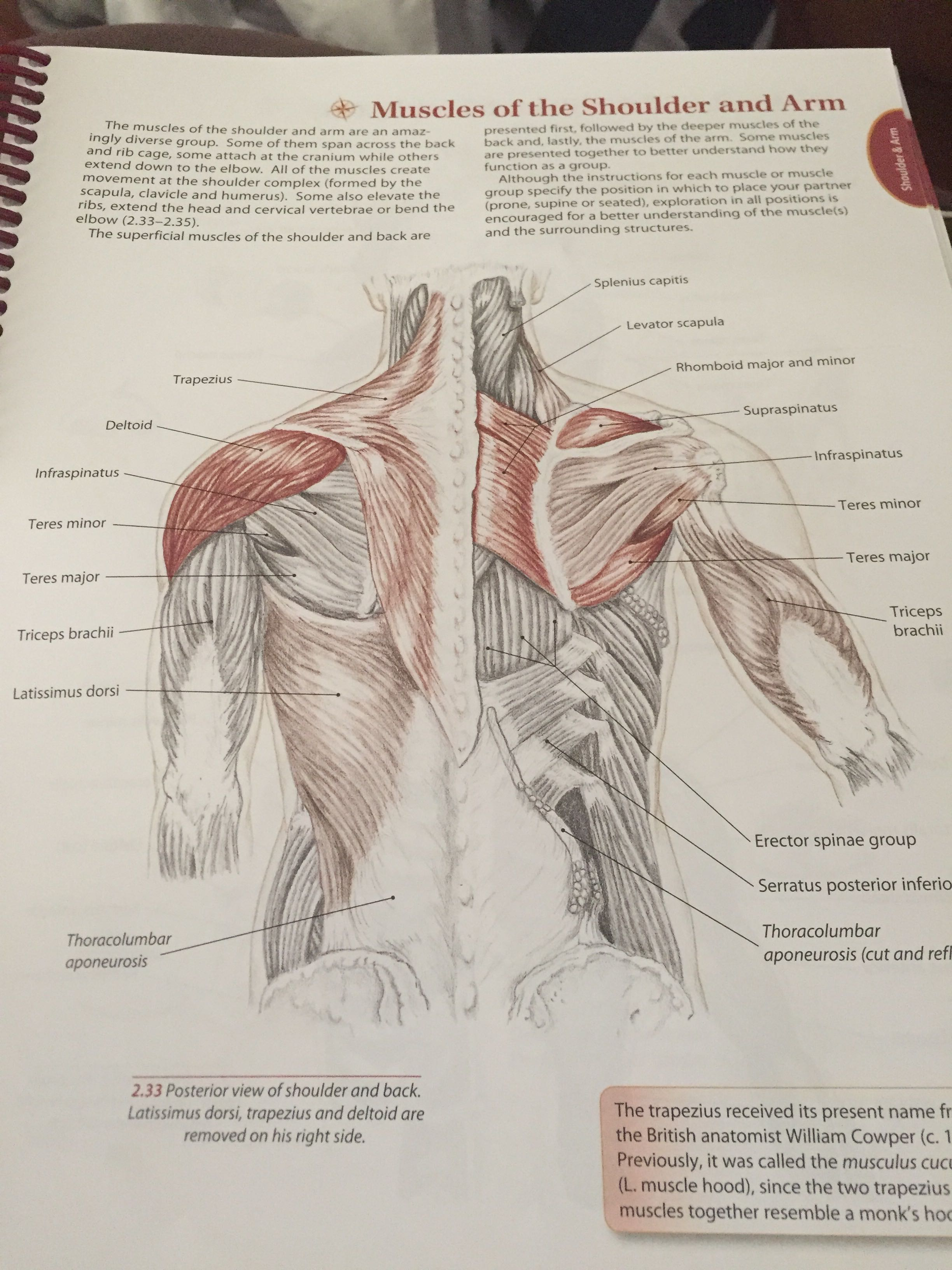 Imagequiz Muscles Of The Armback