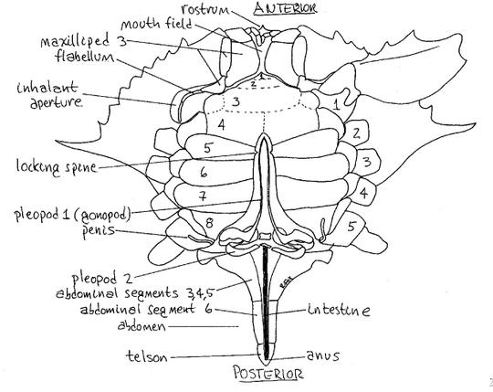 imagequiz  crab anatomy ventral