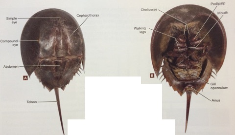 ImageQuiz: BIOL212 Horseshoe Crab External Anatomy