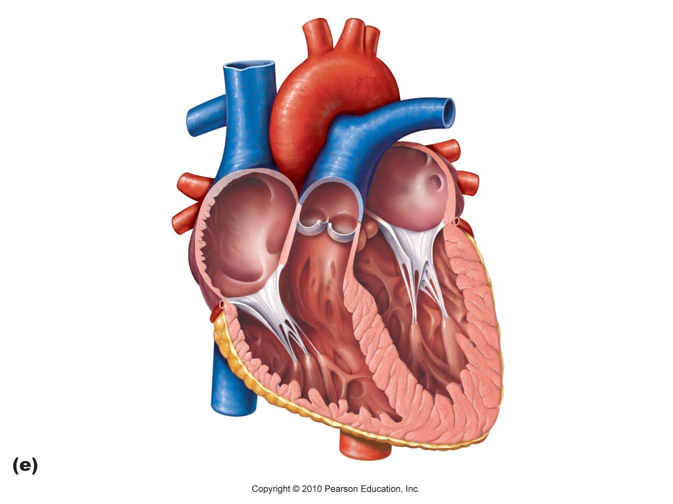 worksheet Structure Of The Heart Worksheet imagequiz heart structures