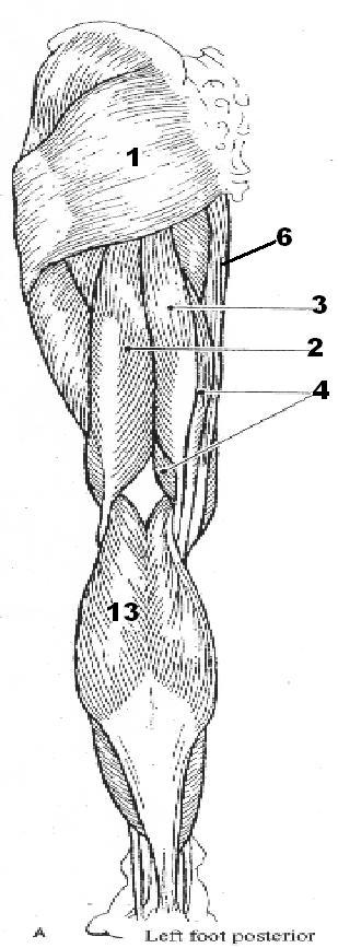 ImageQuiz: Posterior Leg muscles quiz