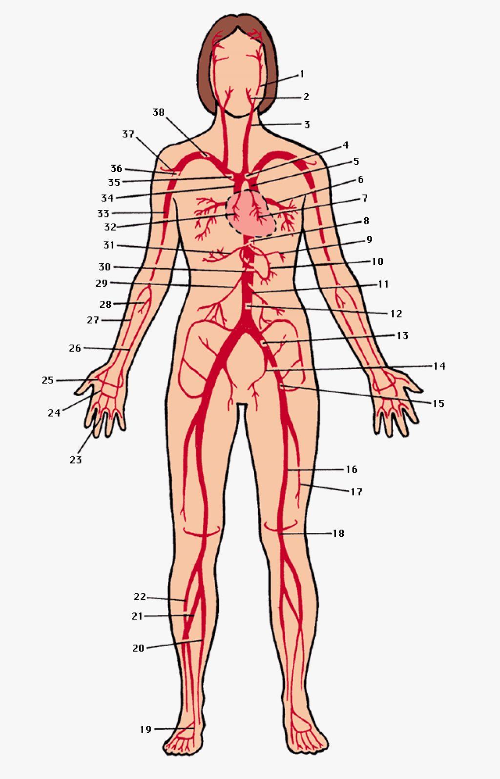 Imagequiz Major Arteries Of The Body