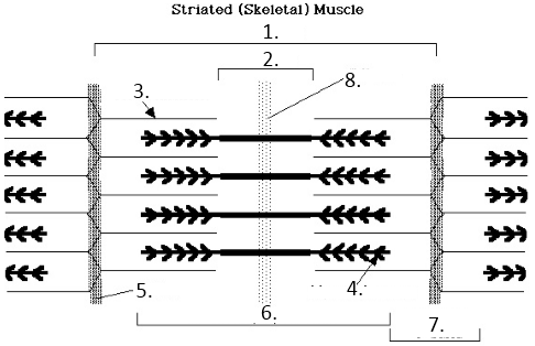 ImageQuiz: Muscle sarcomere structure
