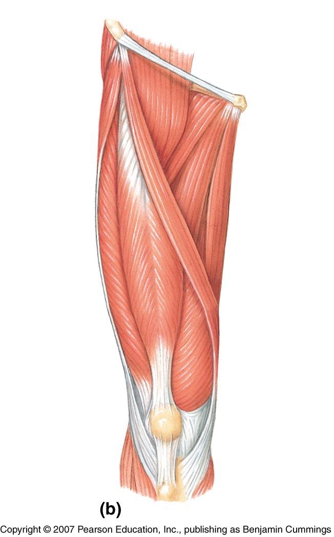 Imagequiz  Muscles 2