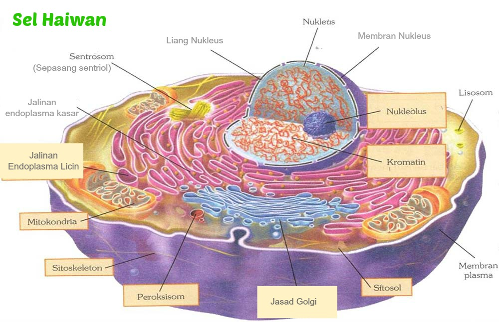 Imagequiz Animal Cell Diagram